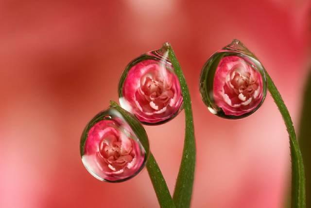 روعة لقطرات الندى-صور قطرات كحبات BeautifulDewDrops9.j