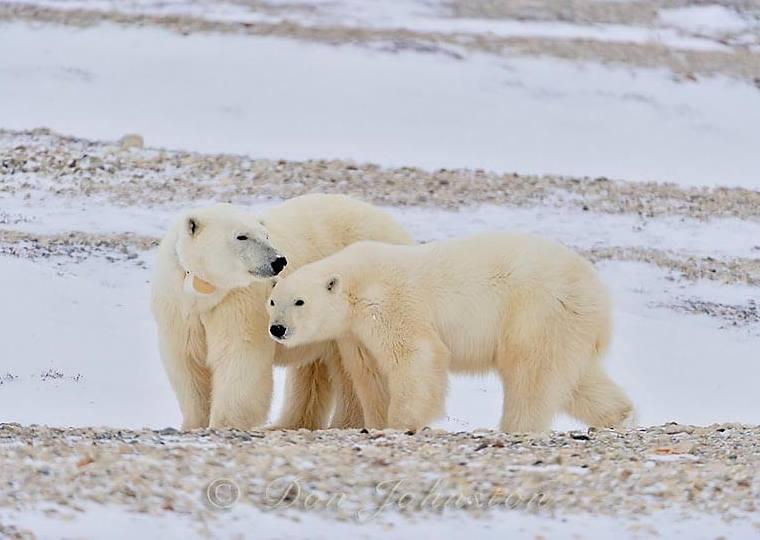 الدب القطبي اجمل صور الدب الابيض على الجليد