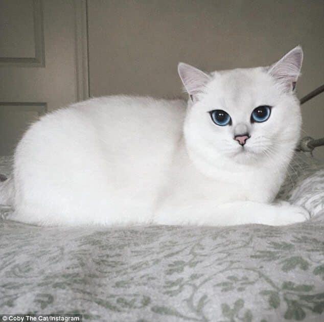 أجمل صور القط كوبي ذات العيون الزرقاء نجم انستقرام