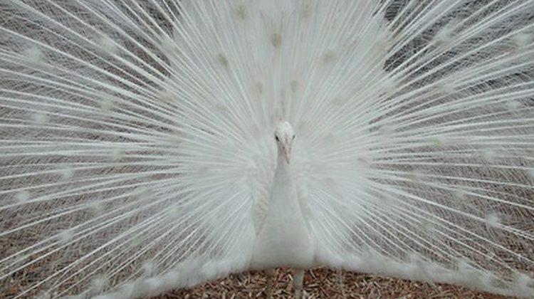 أجمل صور الطاووس الأبيض الذي ادهش العالم