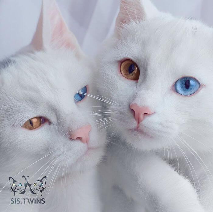 أجمل قطط توأم في العالم .. ستذهل من لون عيونهم
