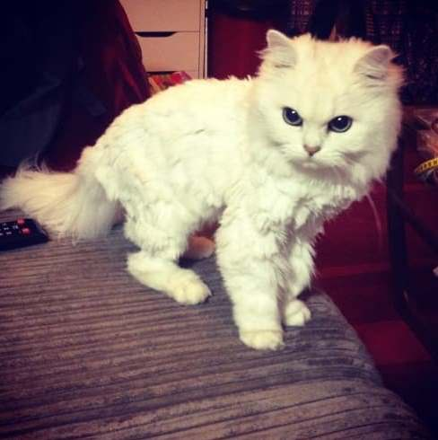 صور قطط غاضبات بعد حلاقة شعرها في الصيف