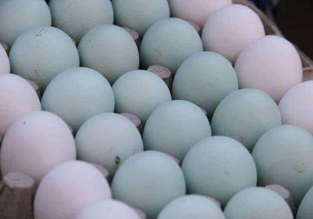 فوائد البيض الأزرق , ماهو الطائر الذي لون بيضه أزرق