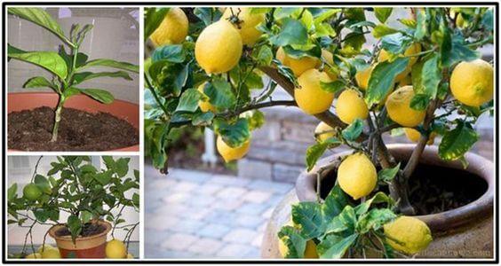 إزرعي شجرة الليمون من البذور .. نصائح سهلة لزراعة الليمون في المنزل