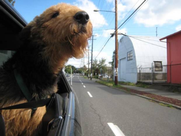 8 صور للكلاب تحدق من شباك السيارة وتعيش الحياة